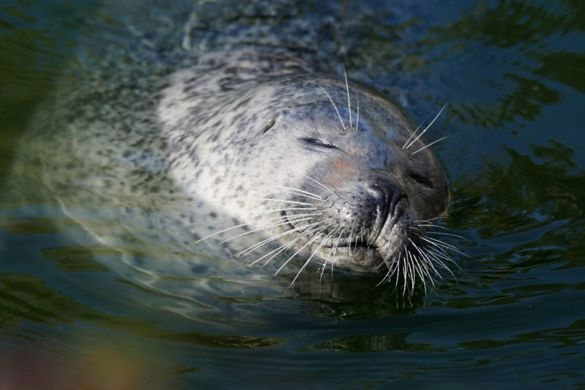 water, ocean, animal, seal, wildlife, sea, wild, marine, nature