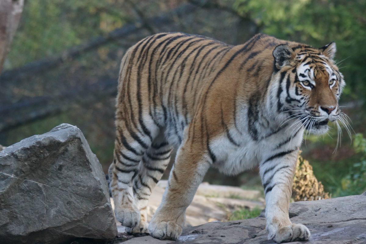 jungle, tiger, wild, hunter, animal, predator, cat, wildlife