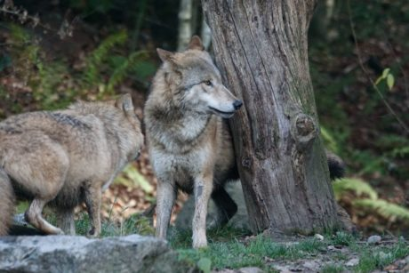 nature, wild, animal, wildlife, wood, wolf, canine, predator