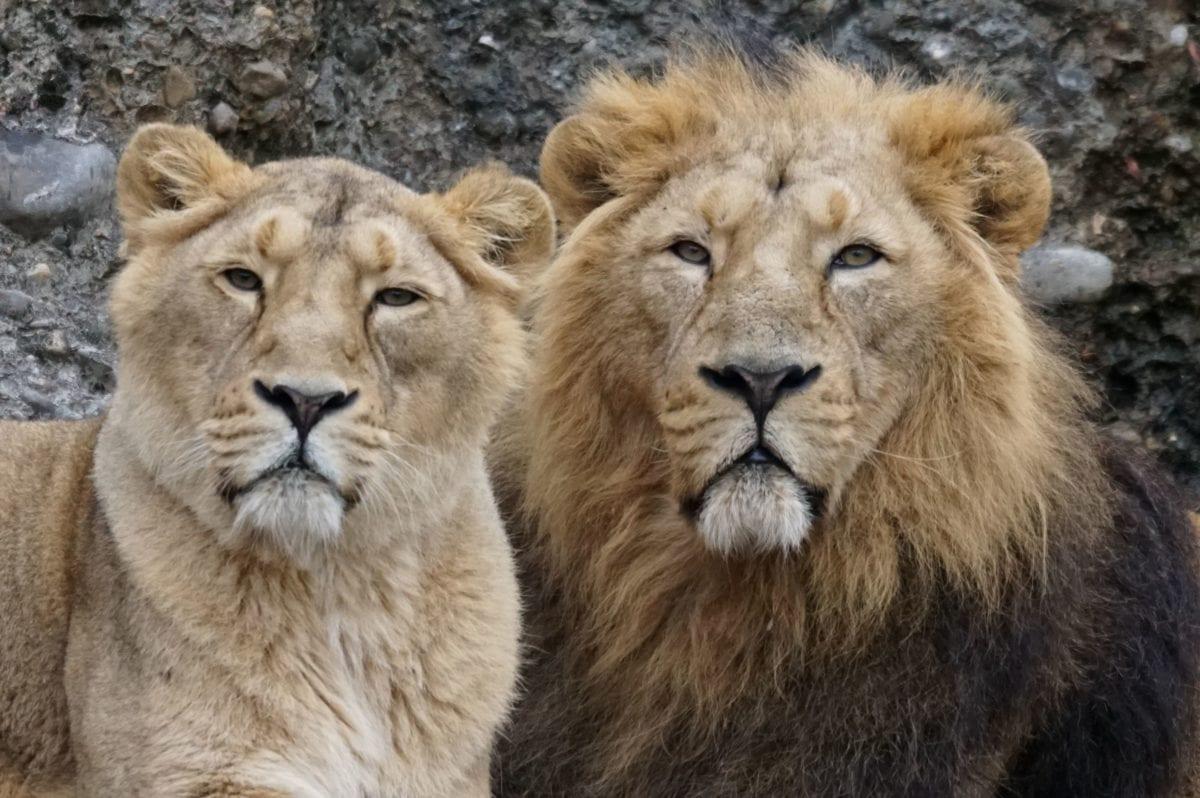 Лъв, котешки, котка, дива природа, Хищникът, месоядни птици, животните, диви