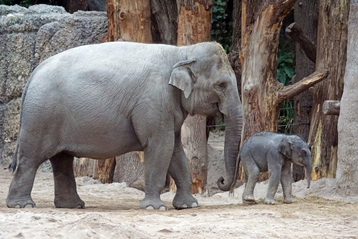 divlja, životinja, slon, priroda, divljina, Safari, stablo
