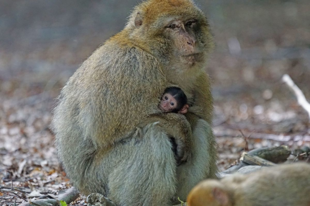 Обезьяна, дикий, дикая, природа, милый, молодой, приматов