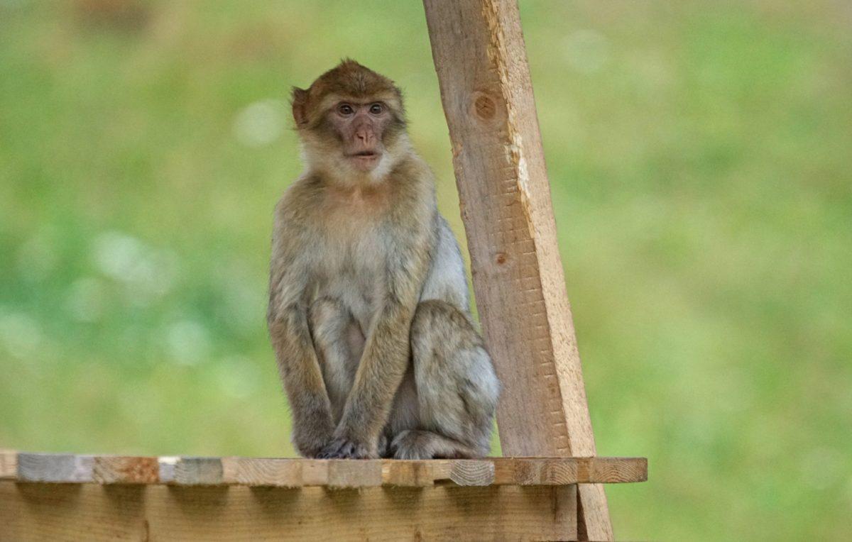 primáti, Wild, příroda, dřevo, divoká zvěř, opice