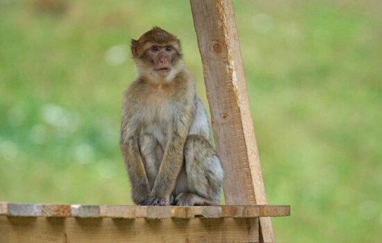 primate, sauvage, nature, bois, faune, singe