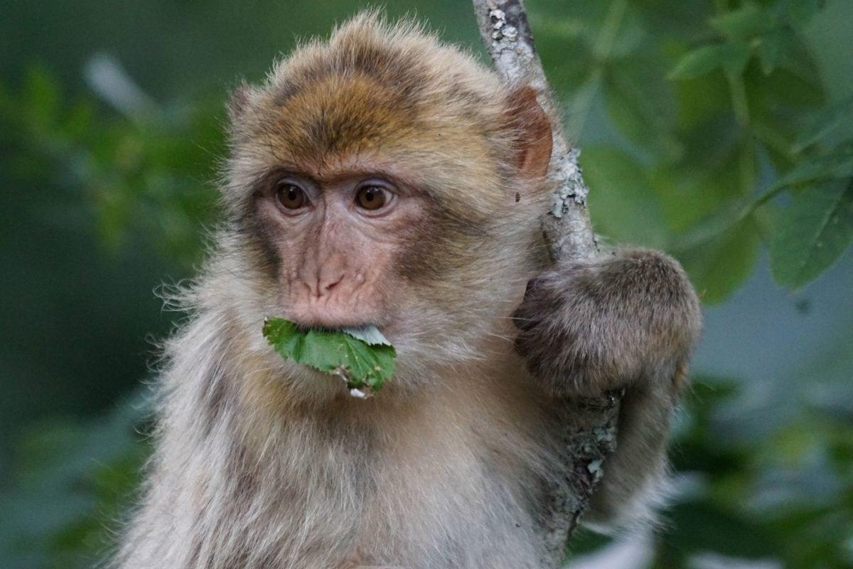 Χαριτωμένος, μαϊμού, φύση, ζώο, άγρια πανίδα, πρωτεύον
