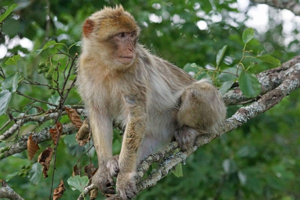 liar, pohon, binatang, lucu, sifat, satwa liar, monyet, primata