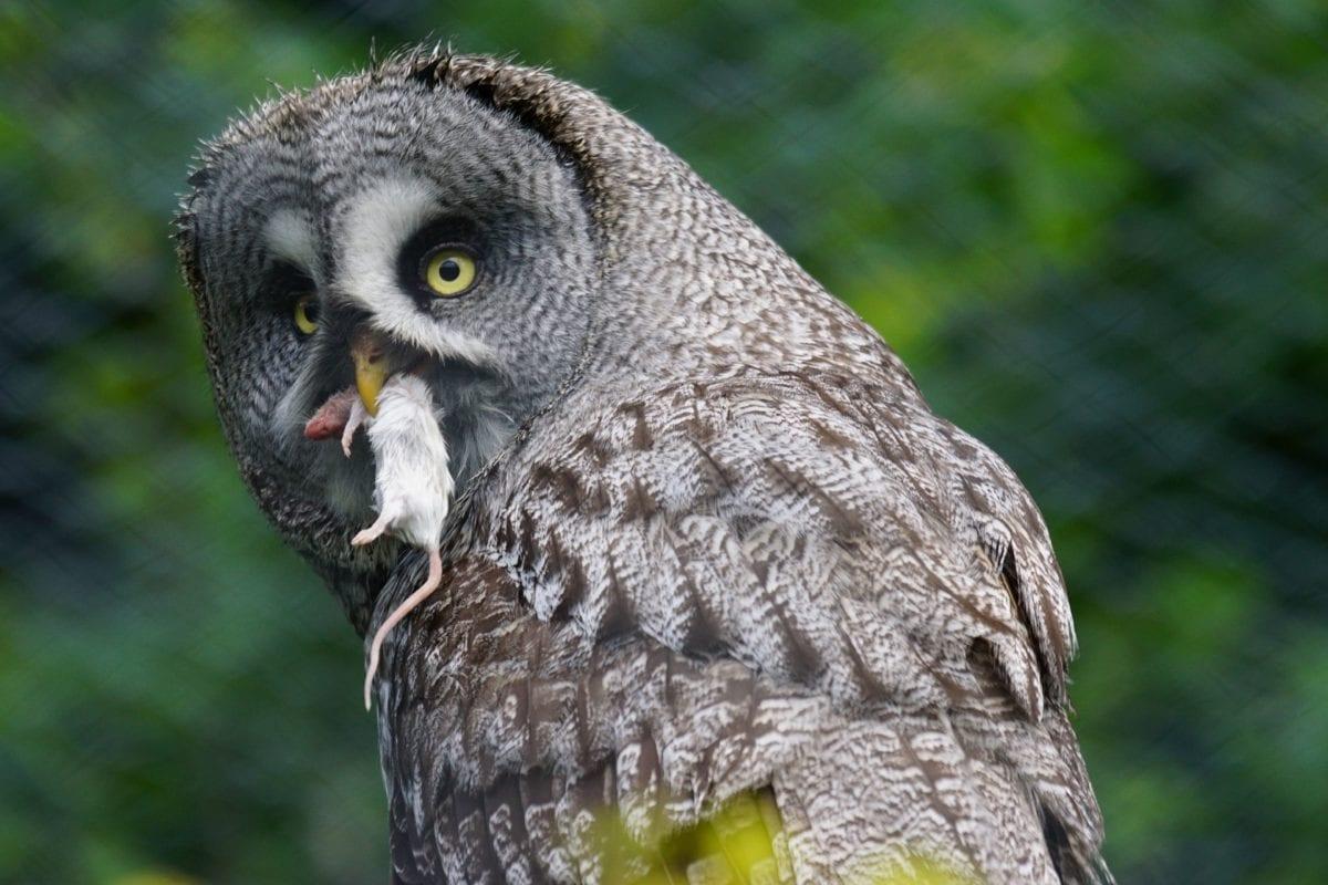 wildlife, nature, animal, bird, owl, beak, feather, eye, predator