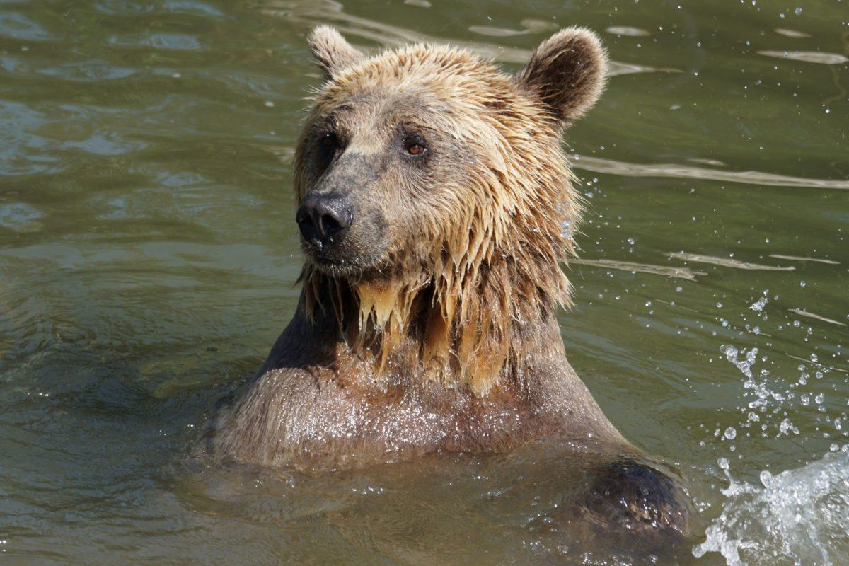 brun bjørn, Grizzly, dyreliv, vand, natur, vilde, våd, dyr