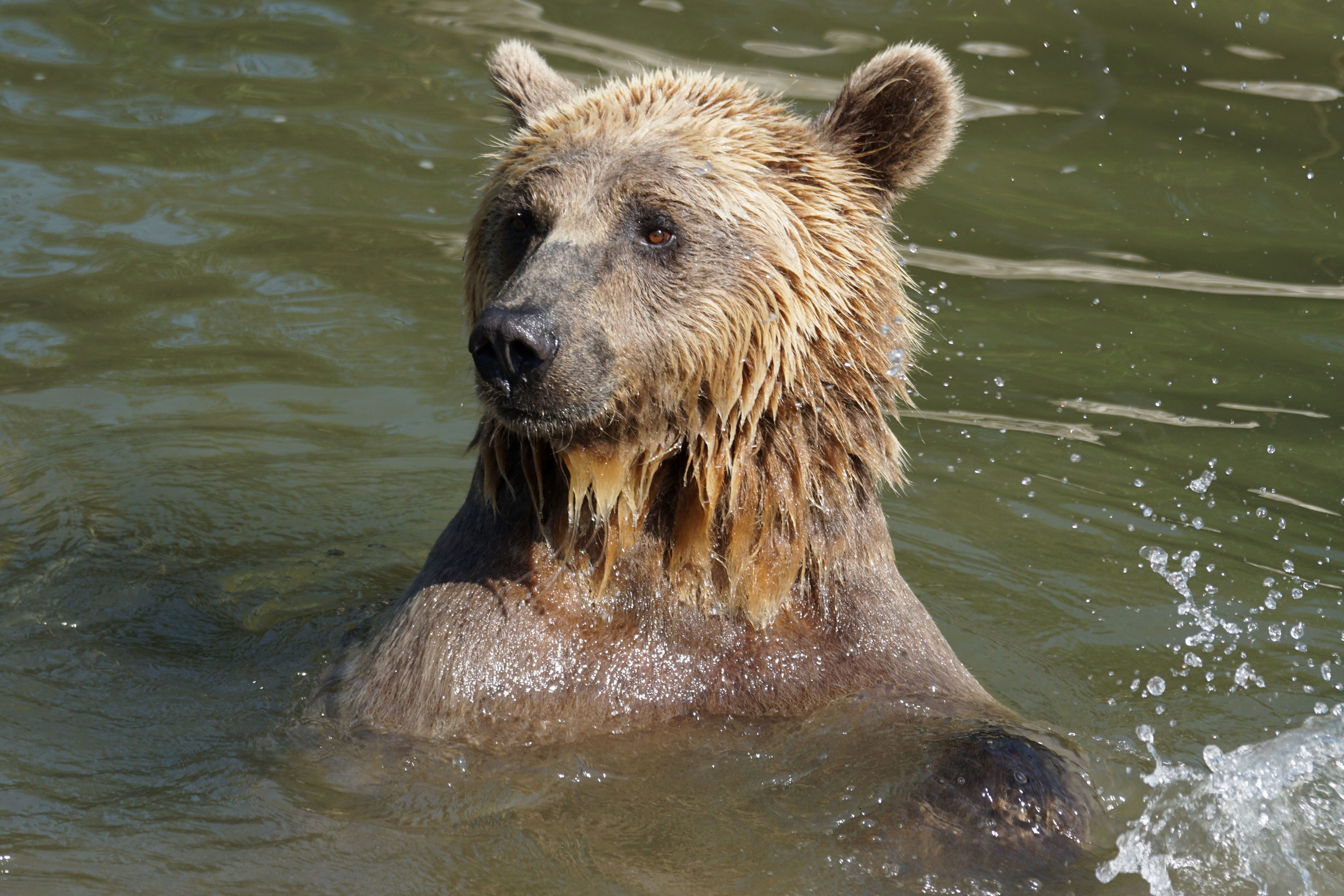 Free picture: brown bear, grizzly, wildlife, water, nature