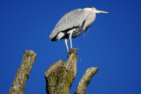 wildlife, bird, heron, beak, feather, wild