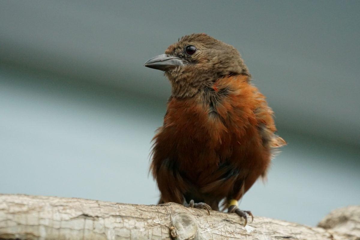 fugl, dyreliv, næb, fjer, unge, vild, brun
