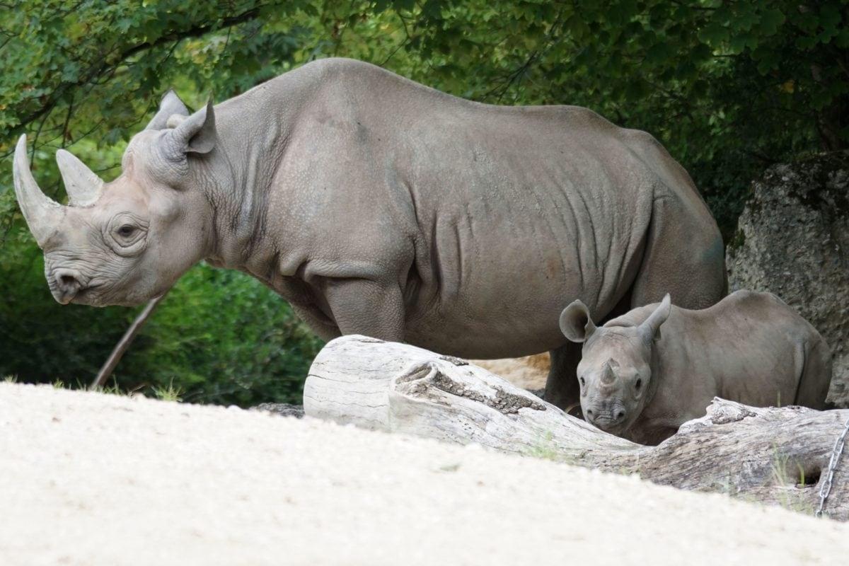 Safari, biljni i životinjski svijet, Nosorog, životinja, priroda, divlje, veliki, rog