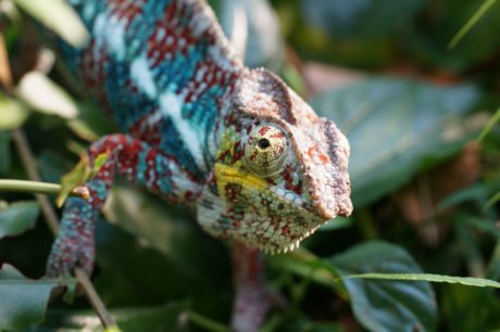 wildlife, lizard, tree, nature, animal, reptile, chameleon