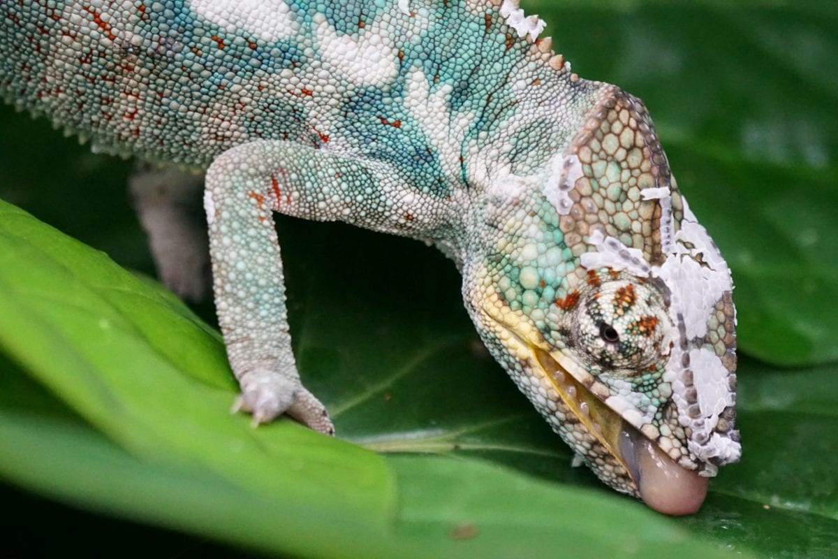 priroda, gušter, životinja, reptil, divljina, kameleon