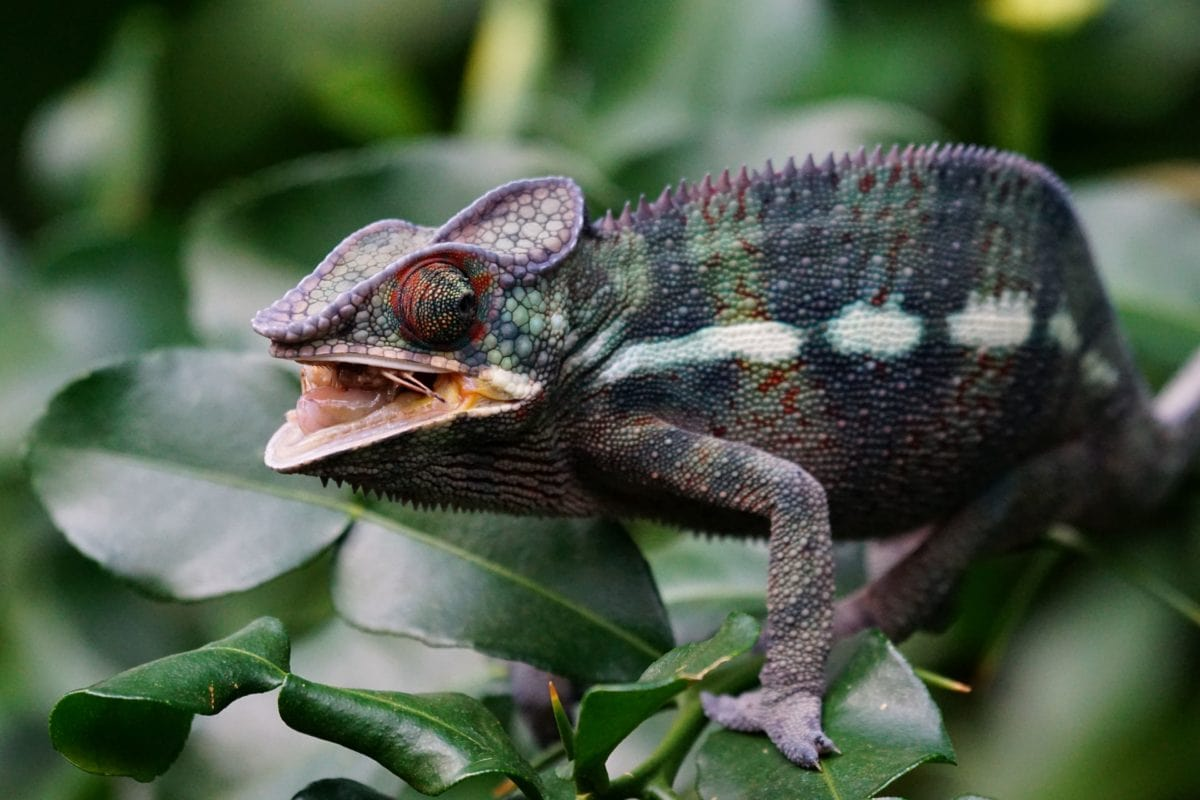 priroda, reptil, divljina, gušter, kameleon, oko