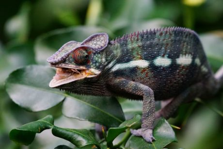 nature, reptile, wildlife, lizard, chameleon, eye