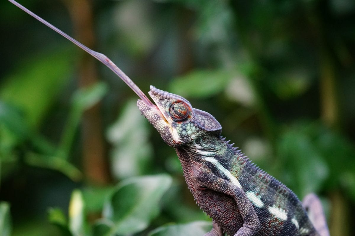 animal, wildlife, nature, chameleon, lizard, reptile