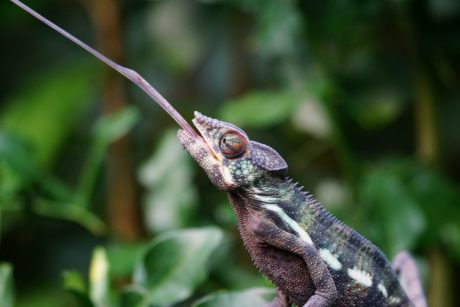 animal, wildlife, nature, chameleon, lizard, reptile
