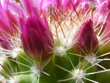 beautiful, pink flower, detail, cactus, nature, garden, sharp, summer