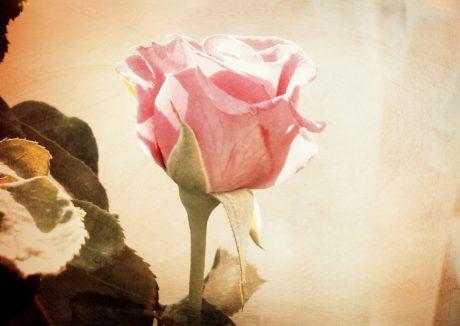 fleur, fleur de rose, pétale, rose, fleur, plante, fleur