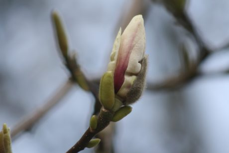 flower, tree, nature, branch, plant, magnolia, spring time