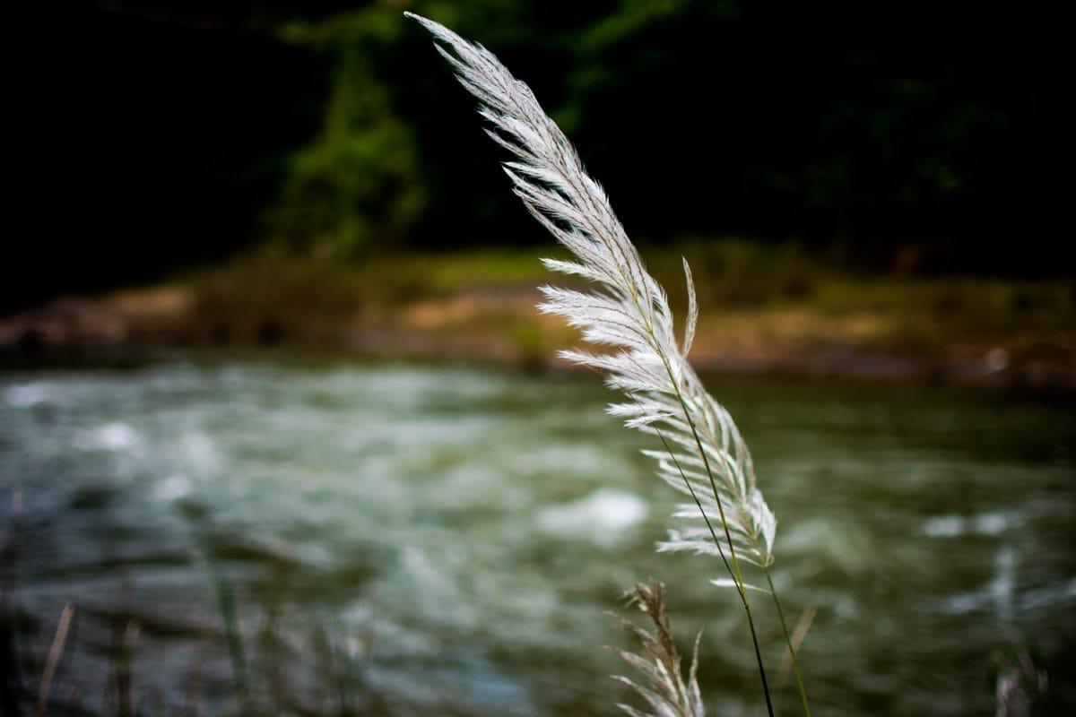 νερό, φύση, Ποταμός, Κάλαμος, χορτάρι, φυτό, όχθη του ποταμού