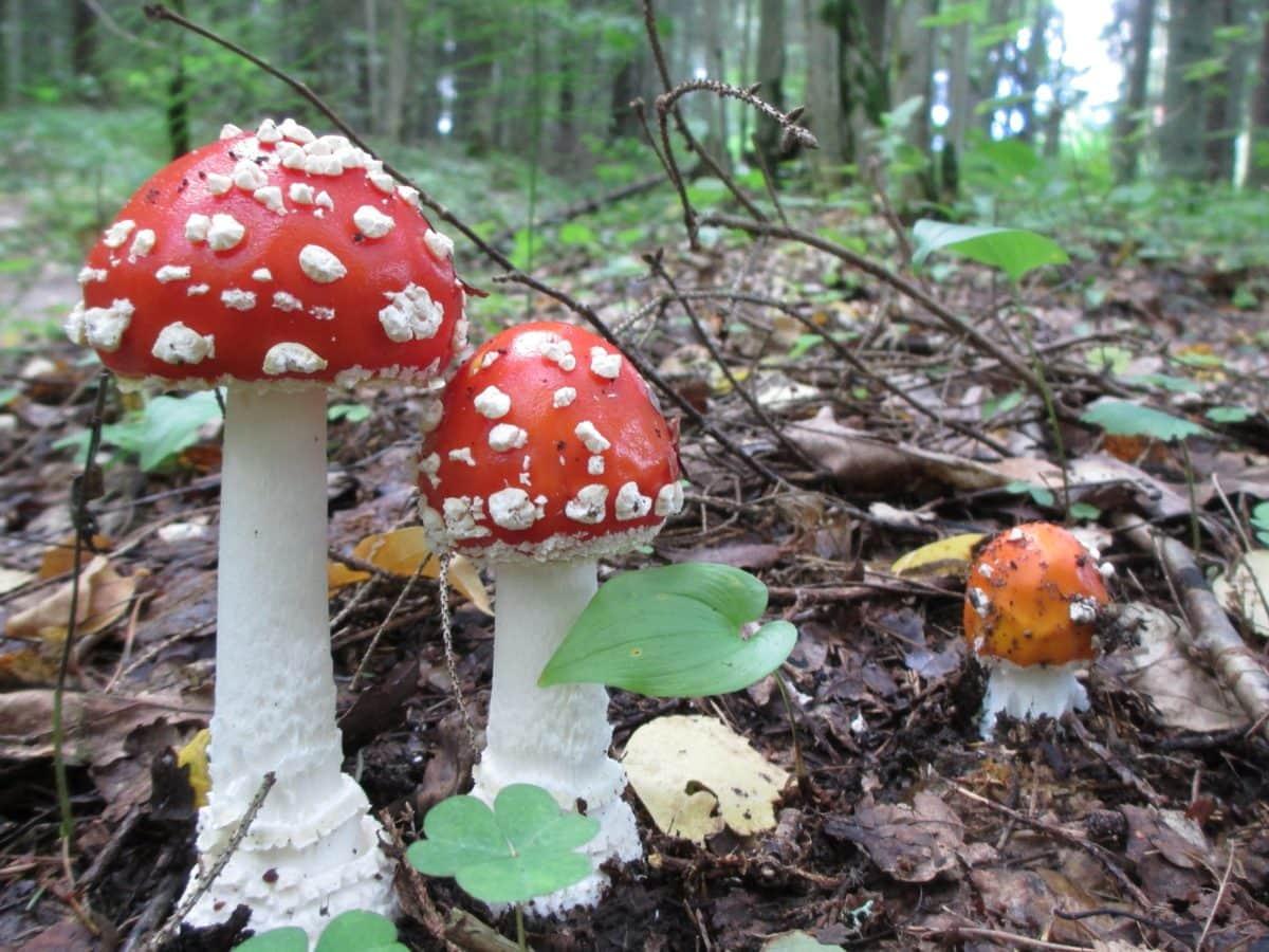 foresta, veleno, natura, muschio, fungo, selvaggio, fungo tossico