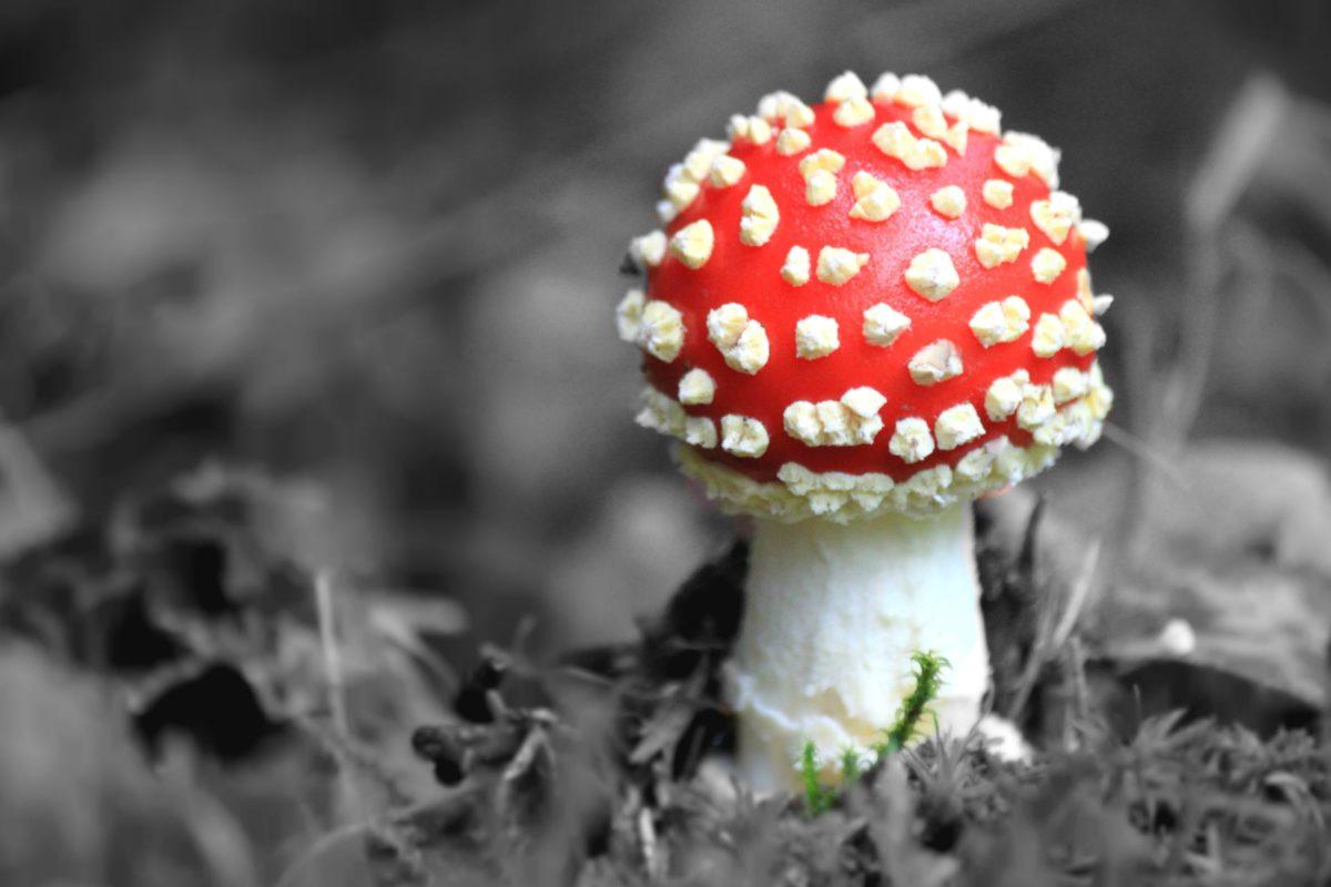 bois, champignon, nature, champignon toxique, herbe, organisme