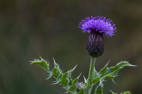 leaf, nature, thistle flower, herb, plant, vegetable, blossom, garden