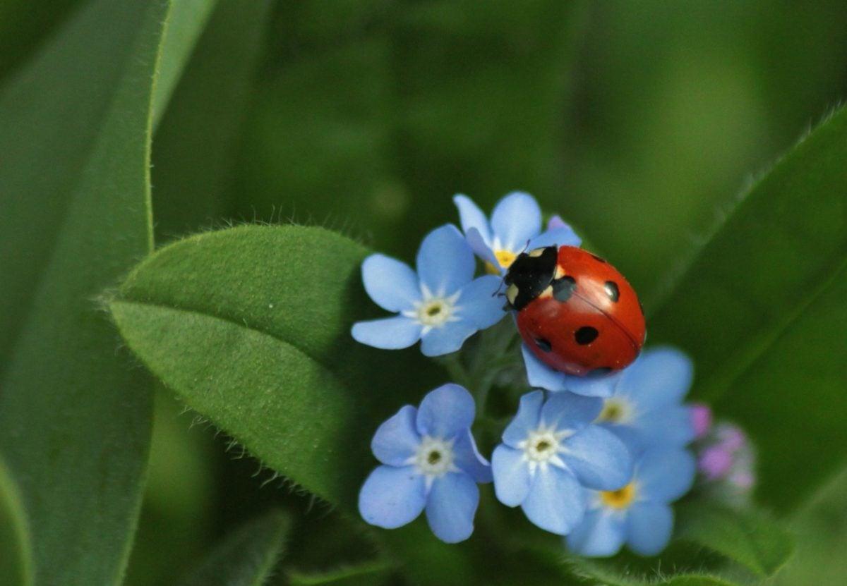 листа, природа, билка, растение, калинка, насекомо, бръмбар, Градина, синьо цвете