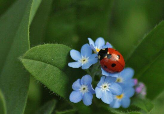 lehti, luonto, yrtti, kasvi, Leppä Kerttu, hyönteinen, kuoriainen, Puutarha, sininen kukka