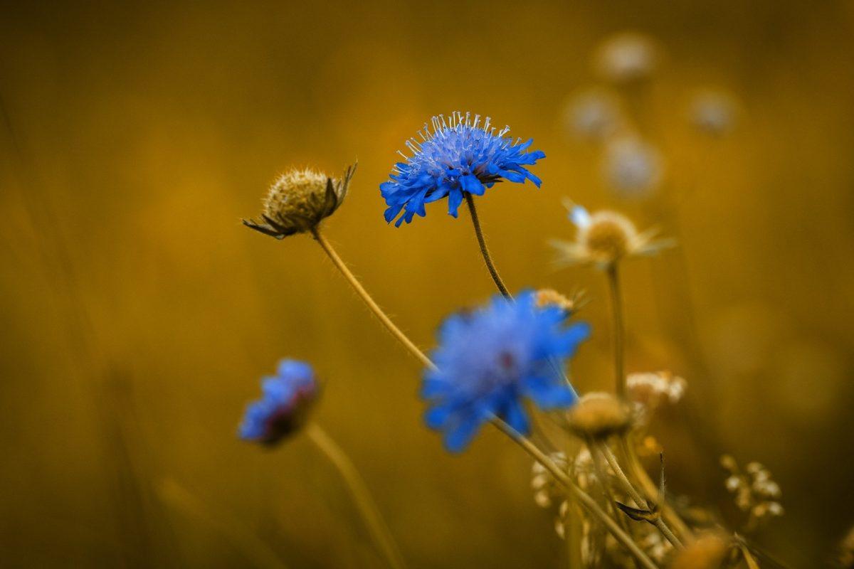 természet, kék virág, gyógynövény, rét, nyári szezonban, napfény, kültéri, növényzet