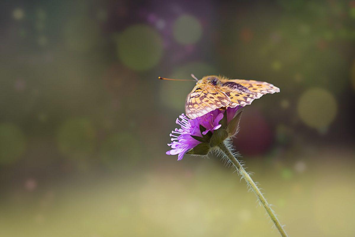 natur, insekter, fargerike sommerfugler, dagslys, Thistle Herb, Flower Garden