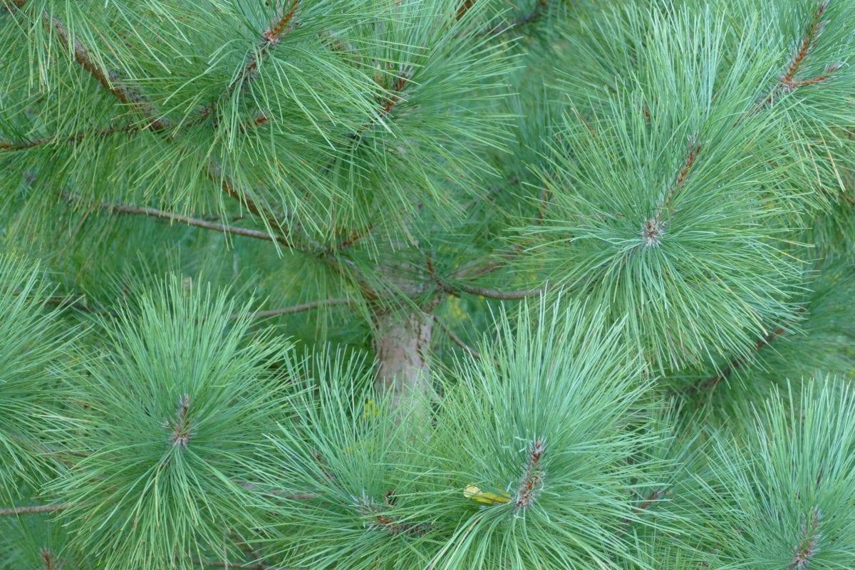grønt blad, træ, stedsegrønne, Gran, træ, natur, fyrretræ, nåletræs gren