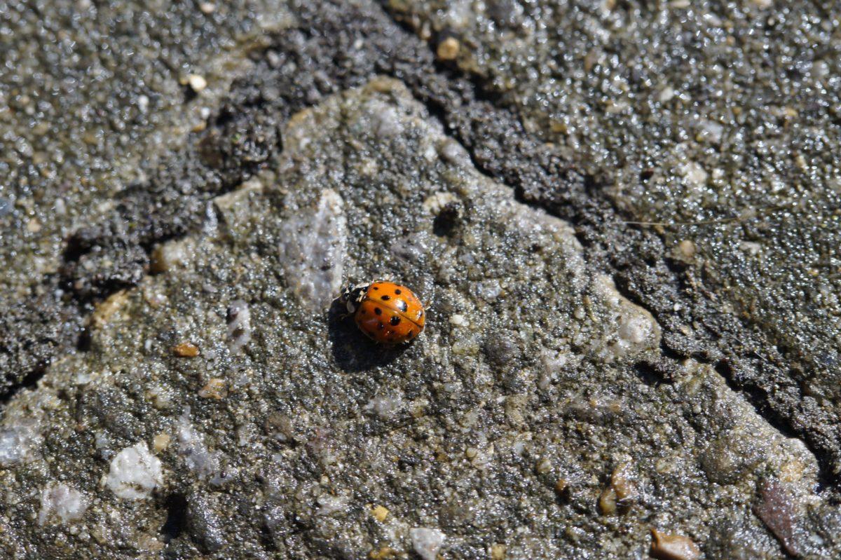 natur, ladybug, Beetle, insekt, leddyr, bug, hvirvelløse dyr