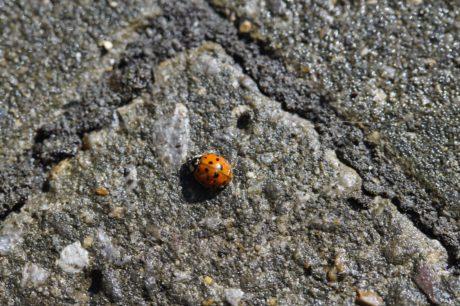 természet, katicabogár, bogár, rovar, ízeltlábúak, bug, gerinctelen