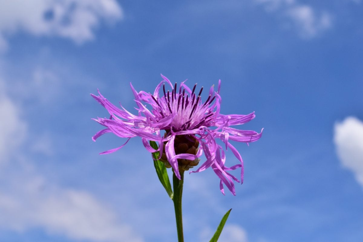 summer, purple flower, nature, blue sky, herb, blossom, pink, bloom