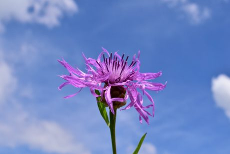 summer, purple flower, nature, blue sky, herb, blossom, pink, bloom