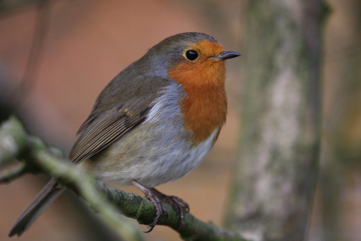 άγρια ζωή, πουλί τραγούδι, ράμφος, άγρια, φτερό, δέντρο, αηδόνι