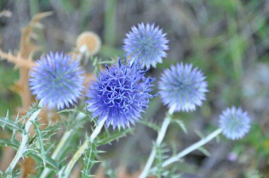 nature, fleur bleue, champ, été, herbe, plante, organisme, chardon