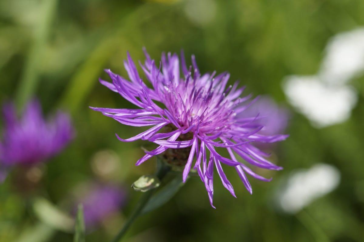 jardin, nature, été, fleur, feuille, herbe, Prairie