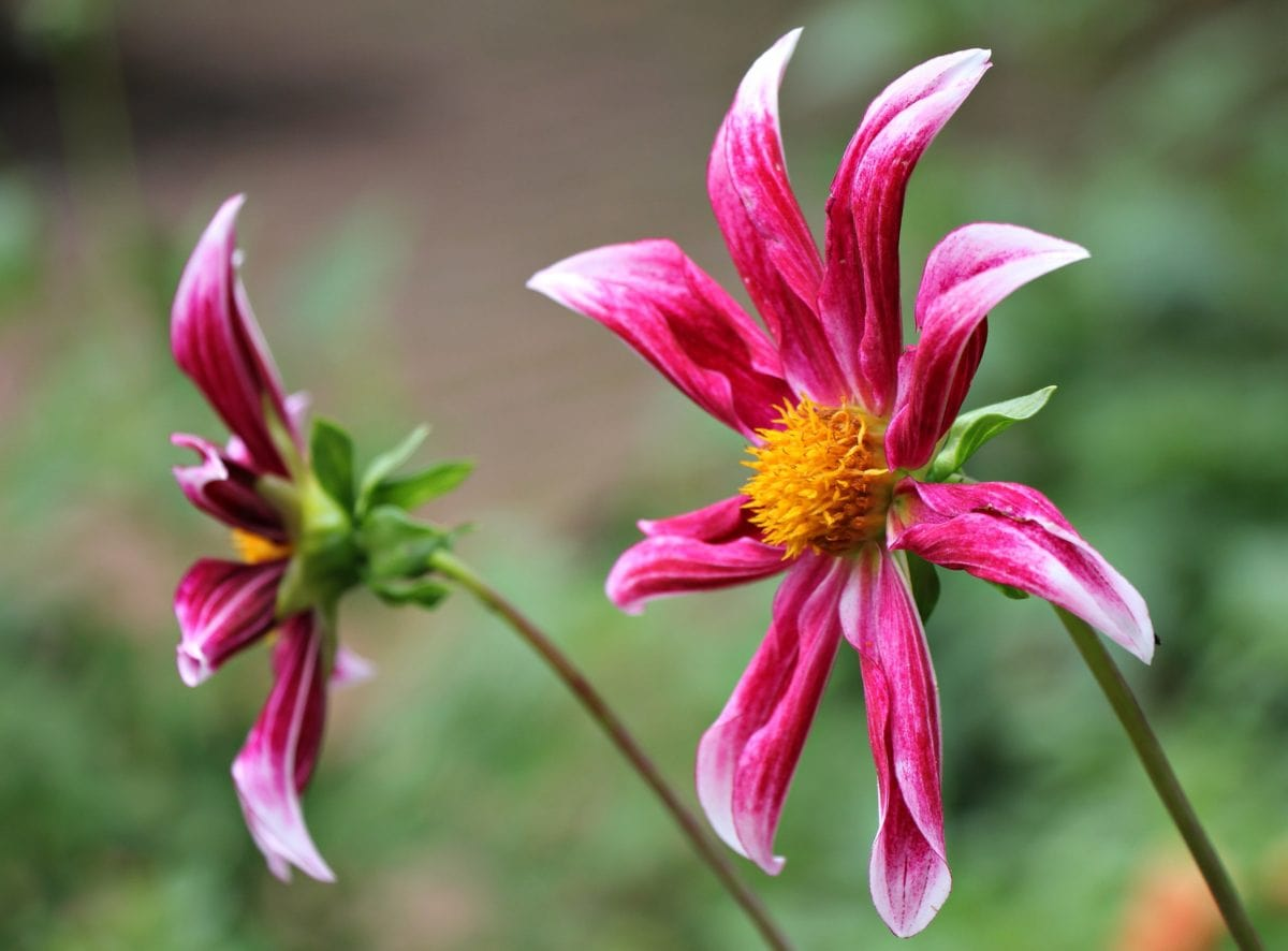 flor cor-de-rosa, folha, jardim, pétala, tempo de verão, natureza, planta, cor-de-rosa