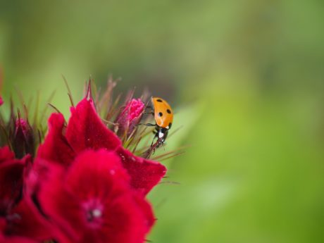summer, red flower, nature, ladybug, insect, pistil, beetle, plant, garden