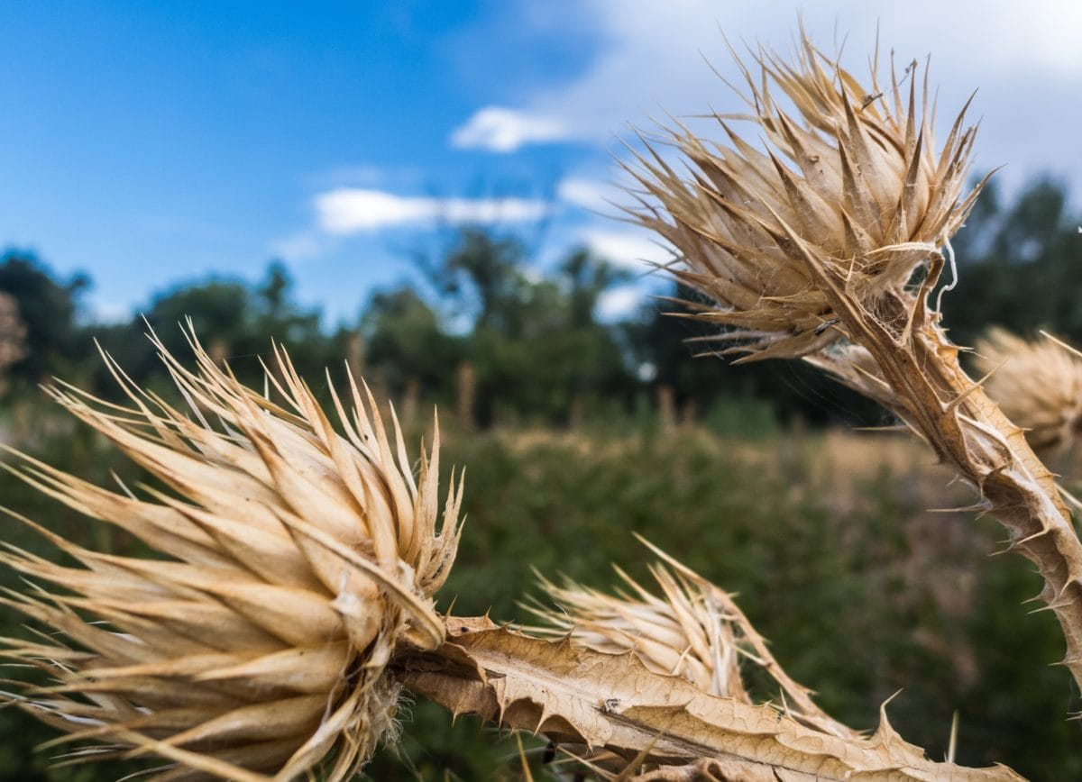 dry, nature, herb, daylight, outdoor, blue sky, field, agriculture
