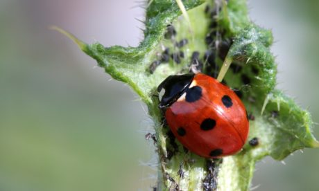 nature, insect, thistle herb, ladybug, biology, beetle, arthropod, bug