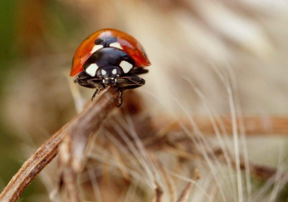 natureza, animais selvagens, besouro, joaninha, inseto, verão, artrópodes, bug