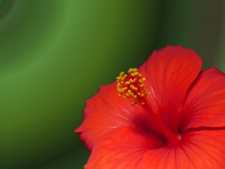 nature, red hibiscus flower, plant, blossom, petal, indoor