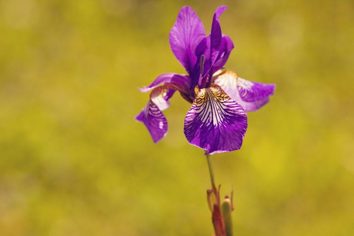 φύση, βλάστηση, πορφυρό λουλούδι, καλοκαίρι, ίριδα, μίσχος, χορτάρι, πέταλο, άνθος