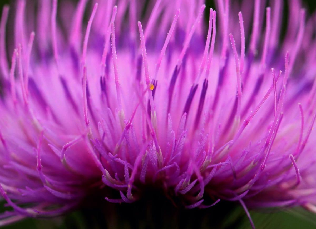 Taman, bunga, alam, detail, ramuan, tanaman, pink, thistle