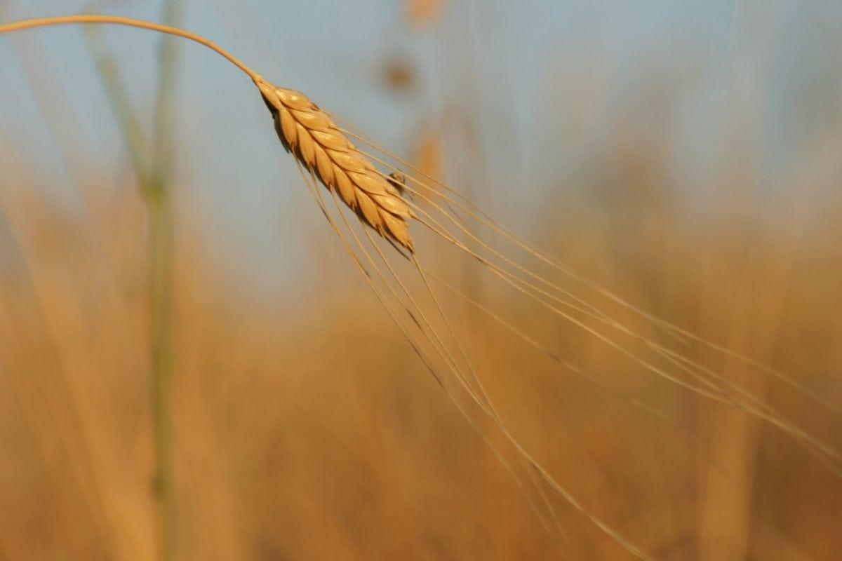 feuille sèche, paille, céréale, champ de seigle, agriculture, semence, plante